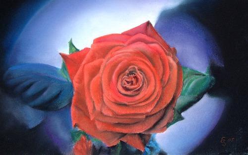 Rote rose mit blauem hintergrund erhard sünder