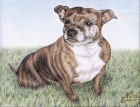 English Staffordshire Terrier (2008)